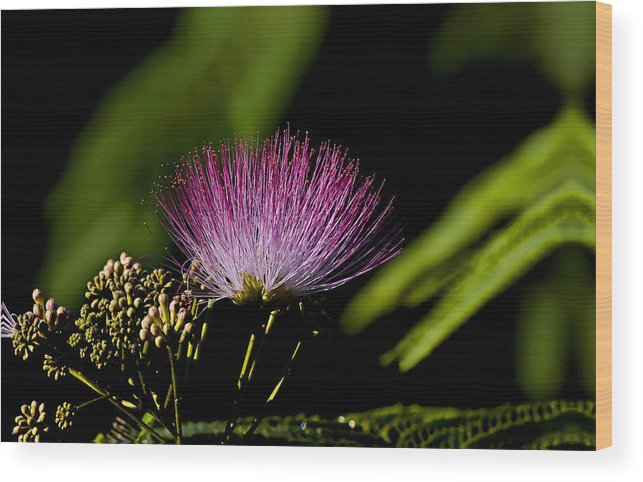 Landscape Wood Print featuring the photograph Mimosa Tree Bloom by Michael Whitaker