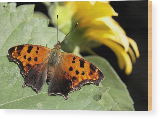 Betsy Lamere Wood Print featuring the photograph Question Mark Butterfly by Betsy LaMere