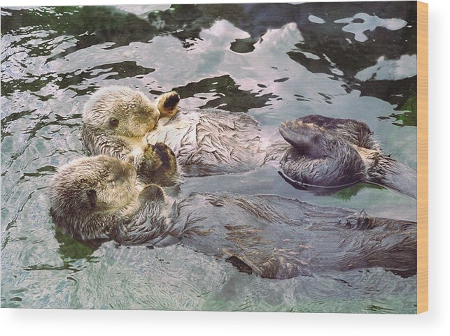 Sea Otters Holding Hands Wood Print By Buffaloworks Photography