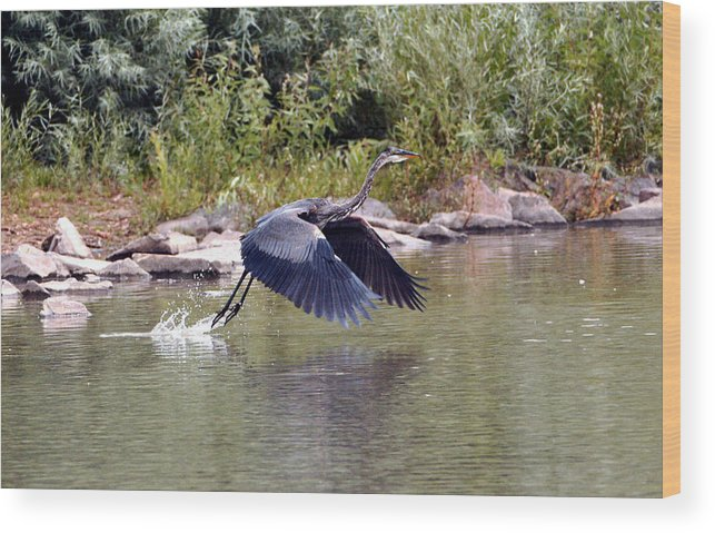 Fine Art Blue Heron Greeting Cards. Fine Art Blue Heron Photography. Blue Heron Photogrphs. Fine Art Blue Heron Paintings. Bird Photography. Blue Heron Flying. Blue Heron Nesting. Blue Heron Hunting. Bird Photography. Wood Print featuring the photograph Taking Off by James Steele