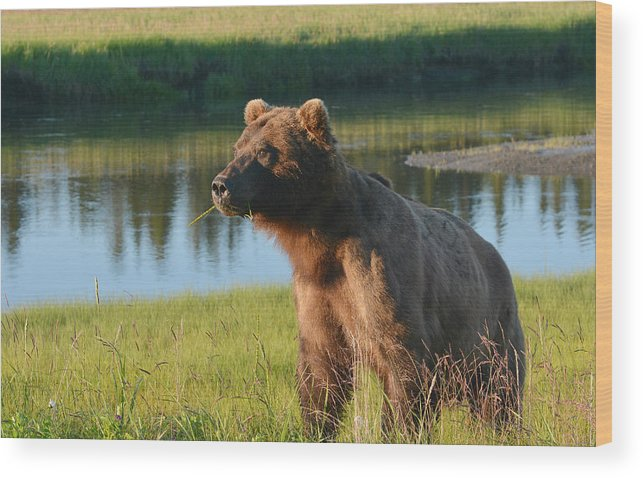 Grizzly Bear Wood Print featuring the photograph The Chew 3 by Fraida Gutovich
