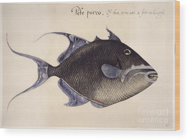 1585 Wood Print featuring the photograph Trigger-fish, 1585 by Granger