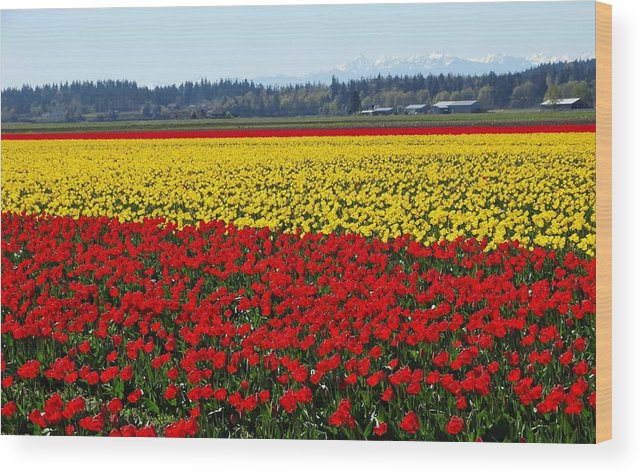 Tulips Wood Print featuring the photograph Tulips Of The Skagit Valley by Sandra Peery