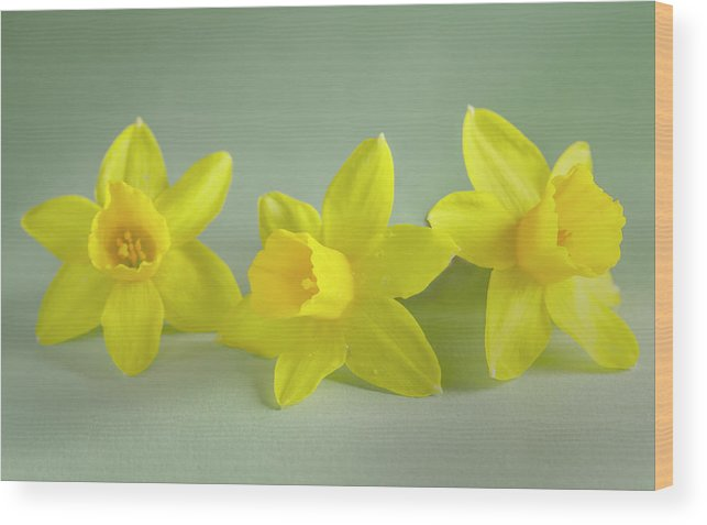 Yellow Mini Narcissus Wood Print featuring the photograph Yellow Mini Narcissus by Iris Richardson