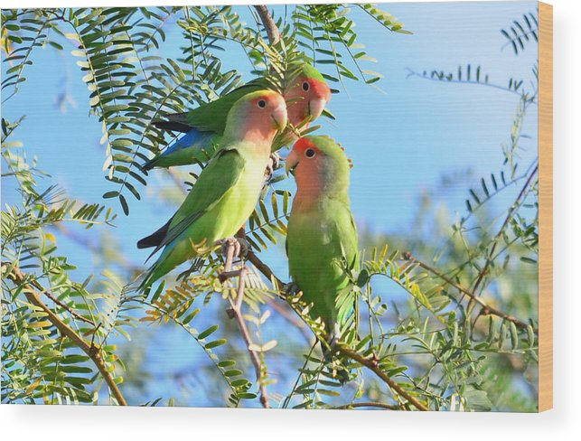 African Peach-face Lovebirds Nature Birds Wildlife Arizon Wood Print featuring the photograph Lovebirds by Eduardo Dinero