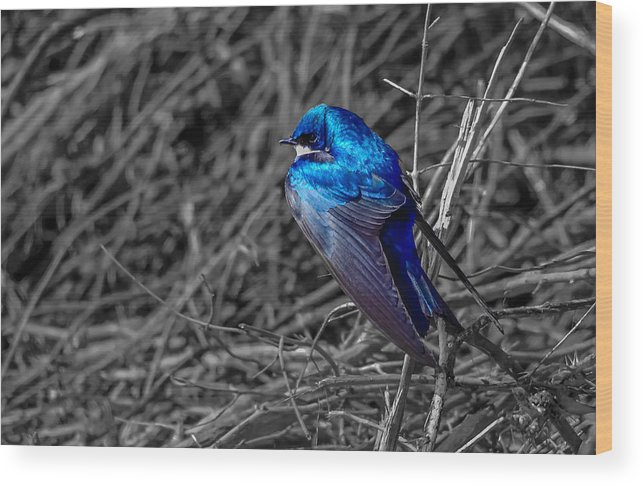 Wood Print featuring the photograph Tree Swallow by Brian Stevens