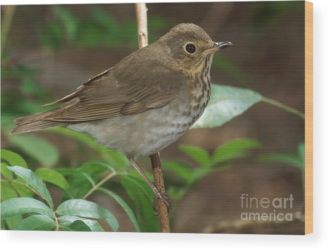 Animal Wood Print featuring the photograph Swainsons Thrush by Anthony Mercieca