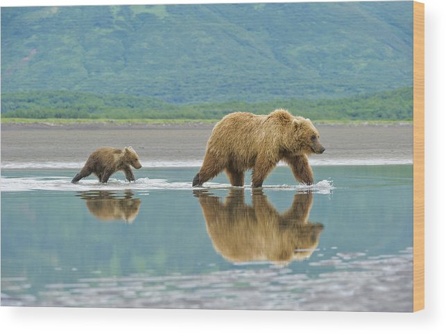 Michael Cummings Wood Print featuring the photograph Coastal Brown Bear Pictures by Bear Images