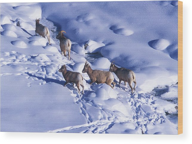 Animal Wood Print featuring the photograph A Group Of Bighorn Sheep Ovis by Todd Korol