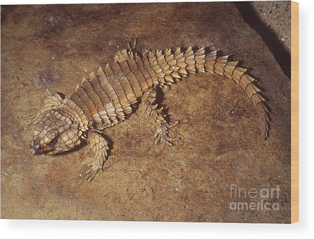 Armadillo Lizard Wood Print