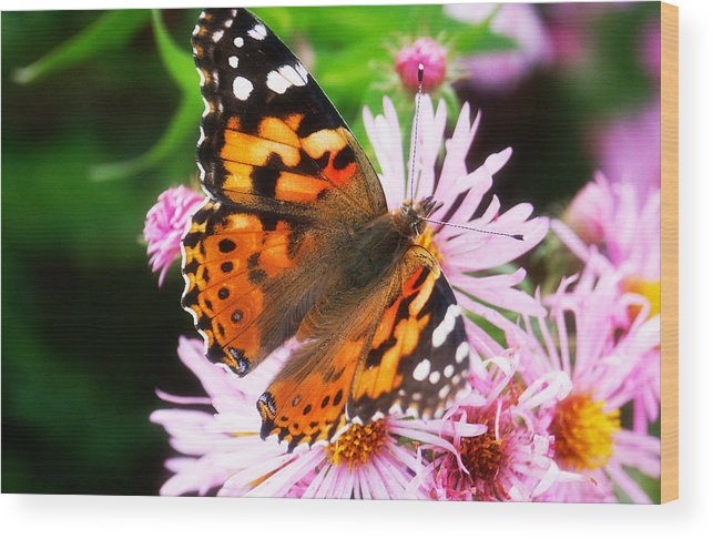 Flower Wood Print featuring the photograph Late Summer Painted Lady by Marilyn Hunt