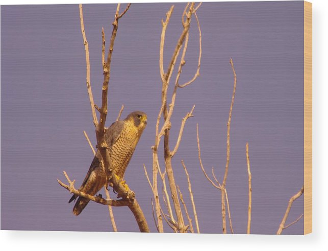 Birds Wood Print featuring the photograph Peregrine Falcon by Jeff Swan