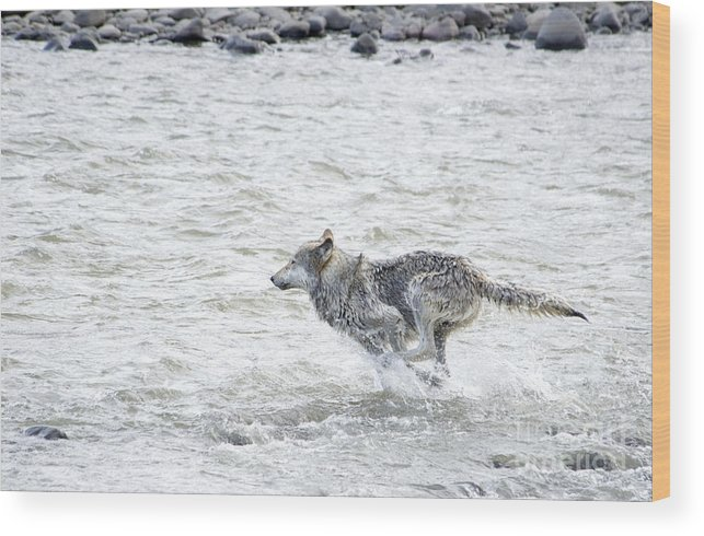Gray Wolf Wood Print featuring the photograph The Chase by Deby Dixon