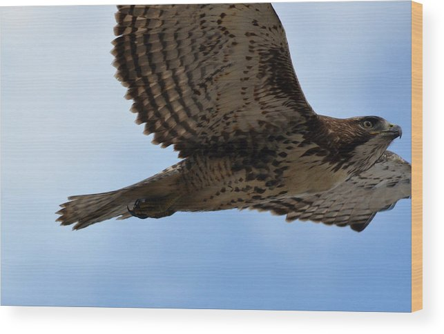 Red Tailed Hawk Wood Print featuring the photograph Close Encounter by Fraida Gutovich