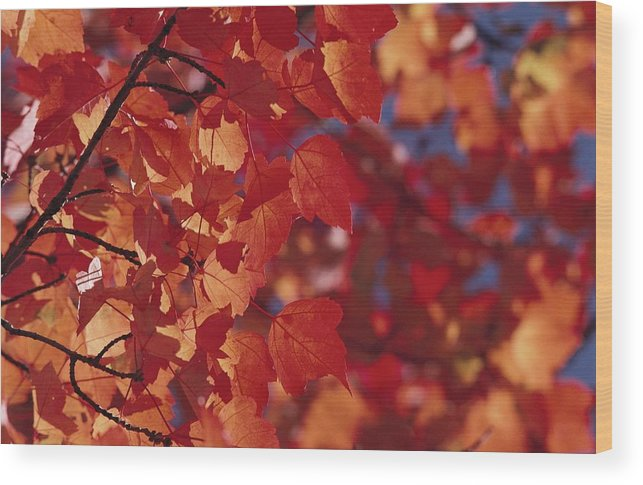 North America Wood Print featuring the photograph Close-up Of Autumn Leaves by Raymond Gehman