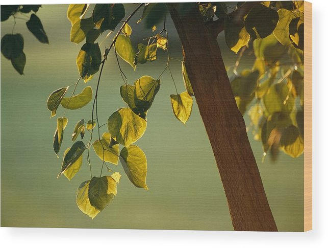 North America Wood Print featuring the photograph Close View Of A Tree Branch And Leaves by Raymond Gehman