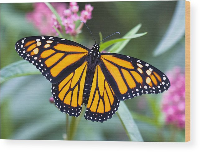 Beautiful Wood Print featuring the photograph Monarch Butterfly by Chris ODonoghue