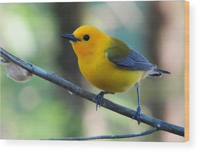 Wood Print featuring the photograph Prothonotary Warbler by Betty Berard