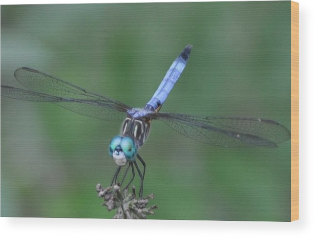 Dragonfly Wood Print featuring the photograph Smiling Dragonfly by Karen McAfee