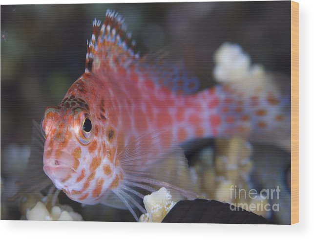 Osteichthyes Wood Print featuring the photograph Pixy Hawkfish, Kimbe Bay, Papua New by Steve Jones