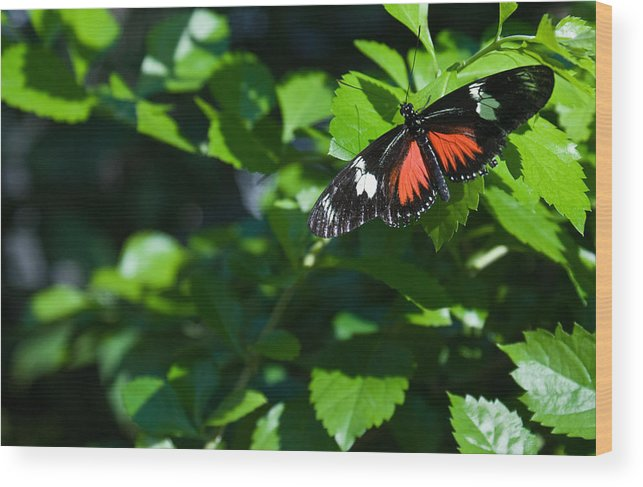 Tropical Wood Print featuring the photograph Tropical Butterfly by Douglas Barnett
