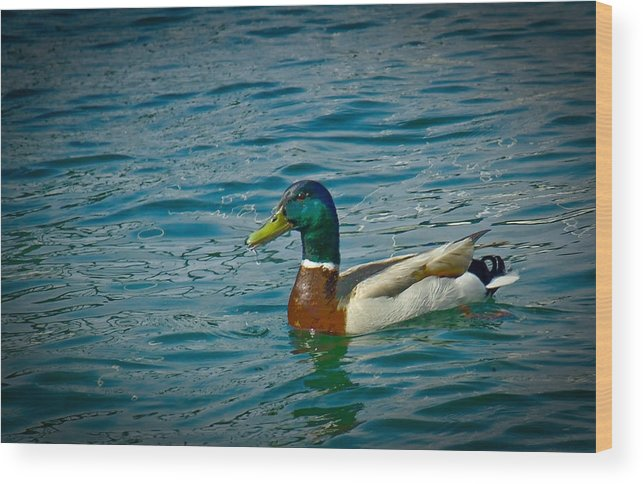 Duck Wood Print featuring the photograph Afternoon Swim by Ken Gimmi