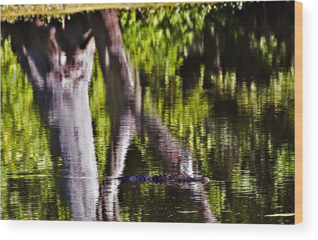 Landscape Wood Print featuring the photograph Alligator by Michael Whitaker