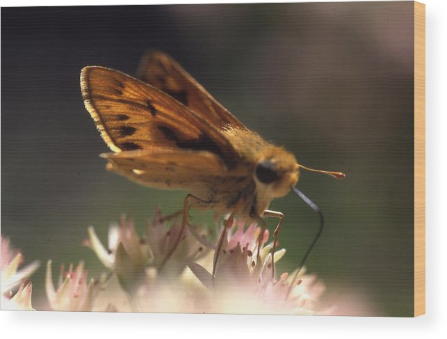 Wood Print featuring the photograph Butterfly-lick by Curtis J Neeley Jr