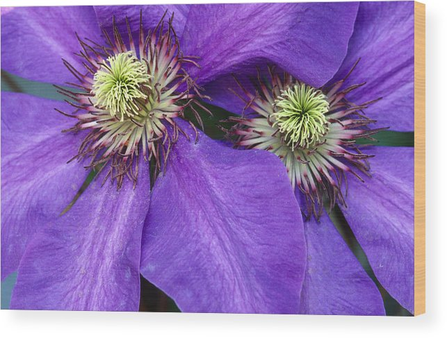 Flowers Wood Print featuring the photograph Clematis Detail by Sandra Bronstein