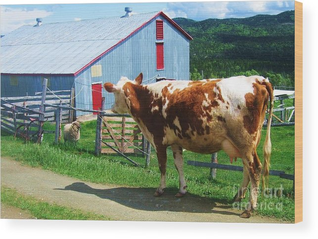 Photograph Cow Sheep Barn Field Newfoundland Wood Print featuring the photograph Cow Sheep And Bicycle by Seon-Jeong Kim