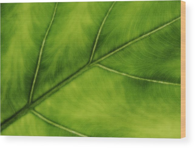 Leaf Wood Print featuring the photograph Elephant Ear by Marilyn Hunt