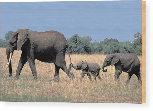 Elephant Wood Print featuring the photograph Elephant Family by Carl Purcell