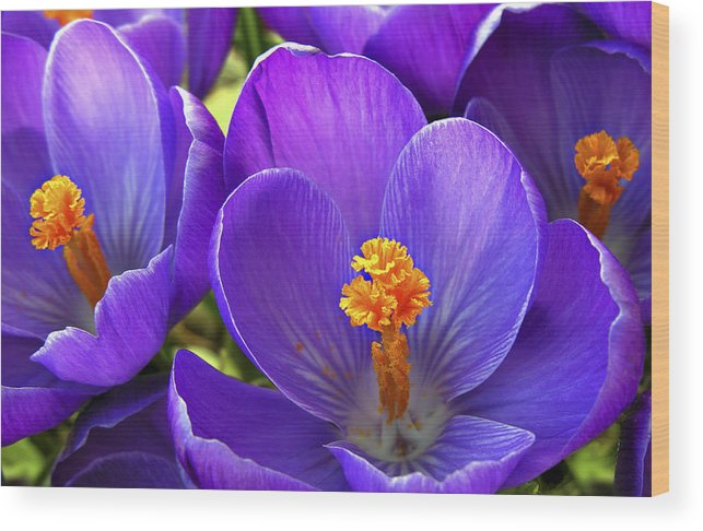 Flower Wood Print featuring the photograph First Crocus by Marilyn Hunt