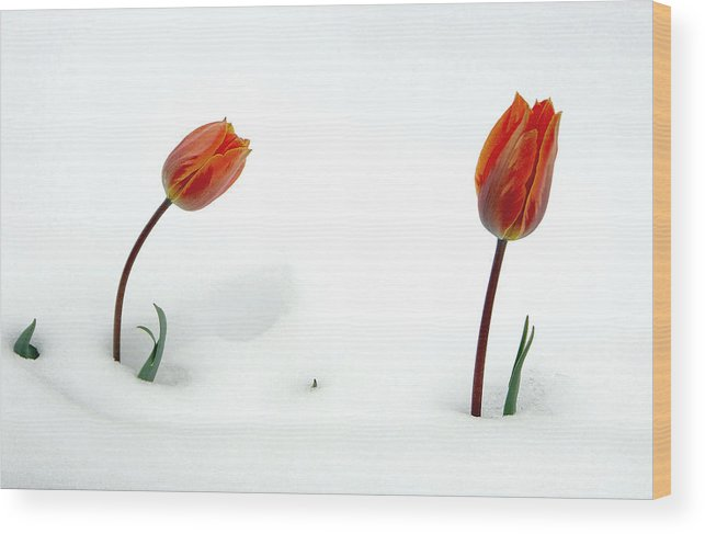 Fine Art Tuilps In The Snow. Fine Art Tuilps Picture. Fine Art Tuilp Cards. Orang Tuilps. Fine Art Canvas. Flowers In The Snow. Spring Snow Storms. Fine Art Tuilp Greeting Cards. Fine Art Tuilp Greeting Card. I Am Sorry Greeting Cards. I Am Sorry Note Cards. Tuilp Picture. Tuilp Canvas Prints. Mixed Media Photography.mixed Media. Mixed Media Photography. Mixed Media Tulip Photography. Mixed Media Flower Photography. Mixed Media Flowers. Wood Print featuring the photograph I Am Sorry by James Steele