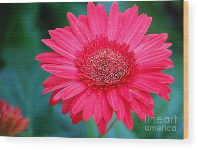 Gerber Daisy Wood Print featuring the photograph In The Pink by Debbi Granruth