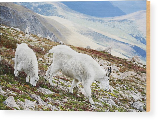 Mountain Wood Print featuring the photograph Mountain Goats 1 by Marilyn Hunt