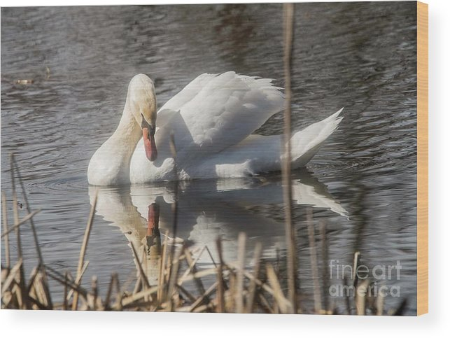 Mute Swan Wood Print featuring the photograph Mute Swan - 3 by David Bearden