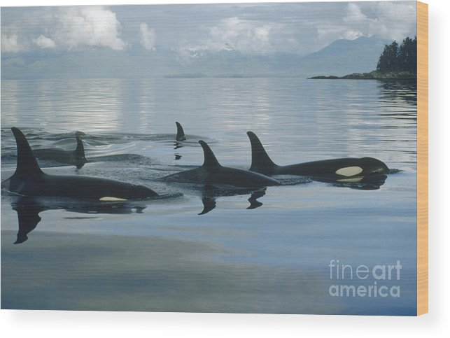 00079478 Wood Print featuring the photograph Orca Pod Johnstone Strait Canada by Flip Nicklin
