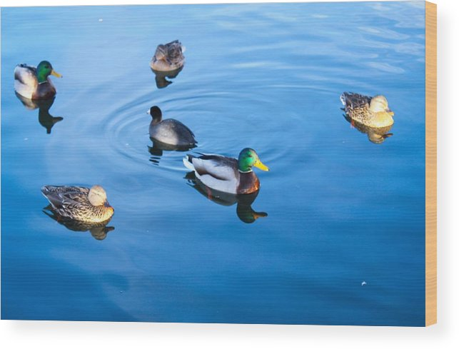 Ducks Wood Print featuring the photograph Recess by Purvis Jordan
