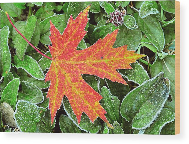Silver Maple Wood Print featuring the photograph Silver Maple Frost by Alan Lenk