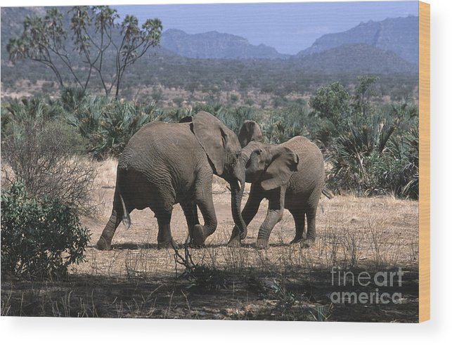 Elephants Wood Print featuring the photograph Slight Disagreement by Sandra Bronstein