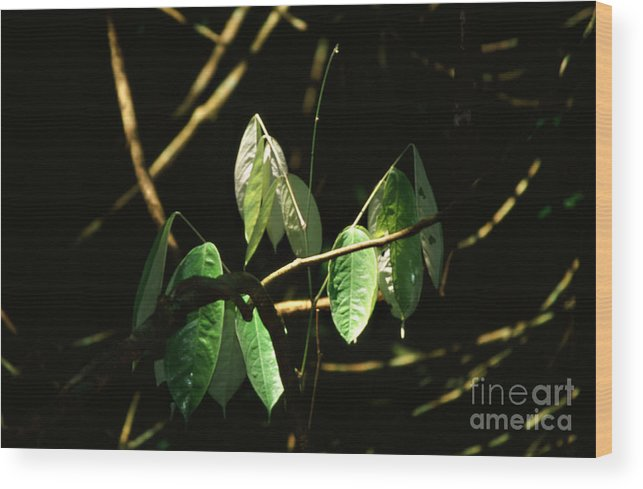 Leaves Wood Print featuring the photograph Sunlit Leaves by Kathy McClure