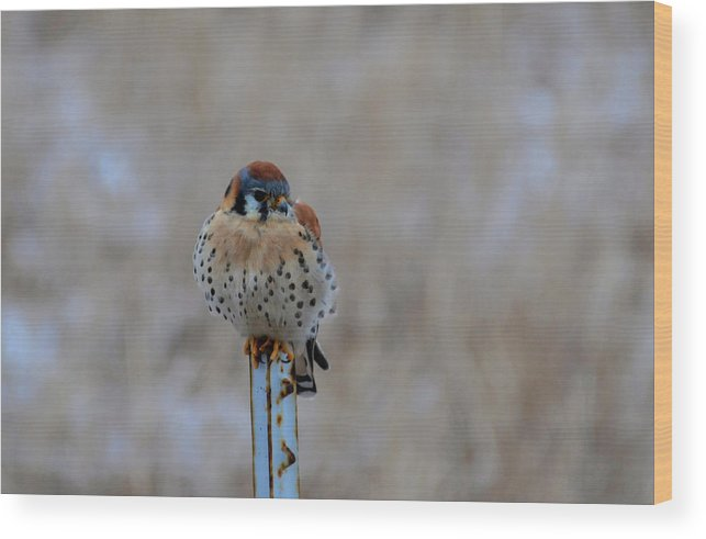 American Kestrelmagnificently Wood Print featuring the photograph The Art And Image Of Kestrel by Rae Ann M Garrett