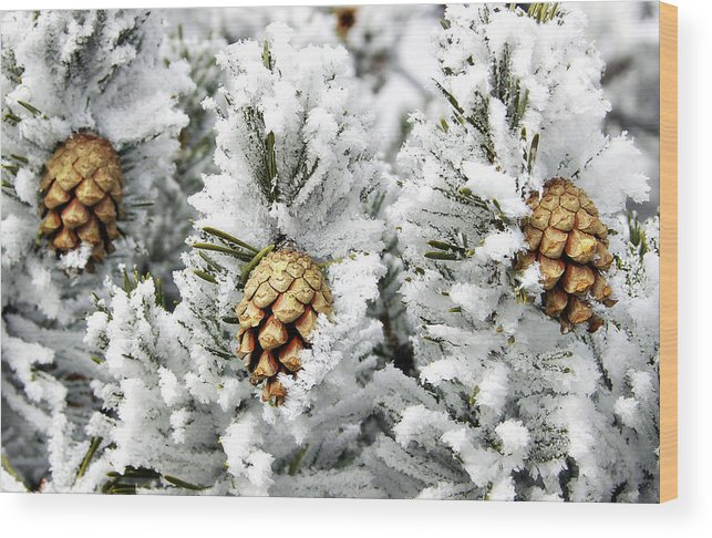 Frosty Wood Print featuring the photograph Three Pinecones by Marilyn Hunt