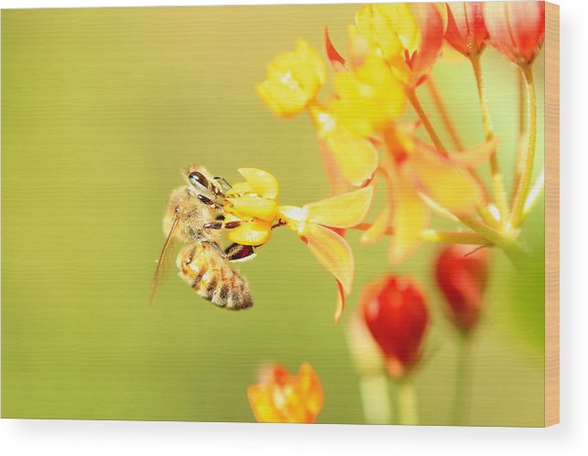 Animals Wood Print featuring the photograph Bee On Milkweed by Greg Allore