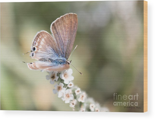 Lampides Boeticus Wood Print featuring the photograph 02 Long-tailed Blue Butterfly by Jivko Nakev