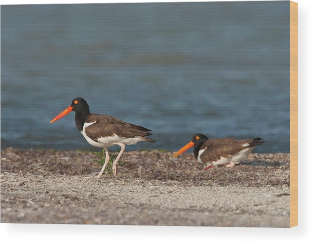 Adult Wood Print featuring the photograph American Oystercatcher (haematopus by Larry Ditto