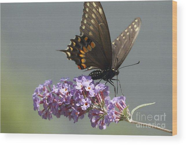 Black Swallowtail Butterfly Wood Print featuring the photograph Black Swallowtail Butterfly Feeding by John Van Decker