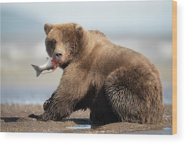 Brown Bear Wood Print featuring the photograph Brown Bear by Dr P. Marazzi