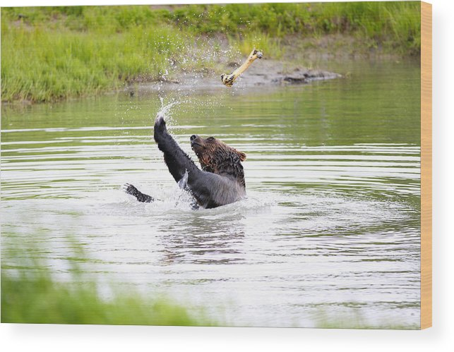 Animal Wood Print featuring the photograph Brown Bear Playing With A Bone by Paul Fell